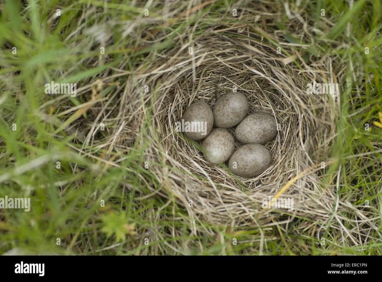 common skylark eggs - Stock Image