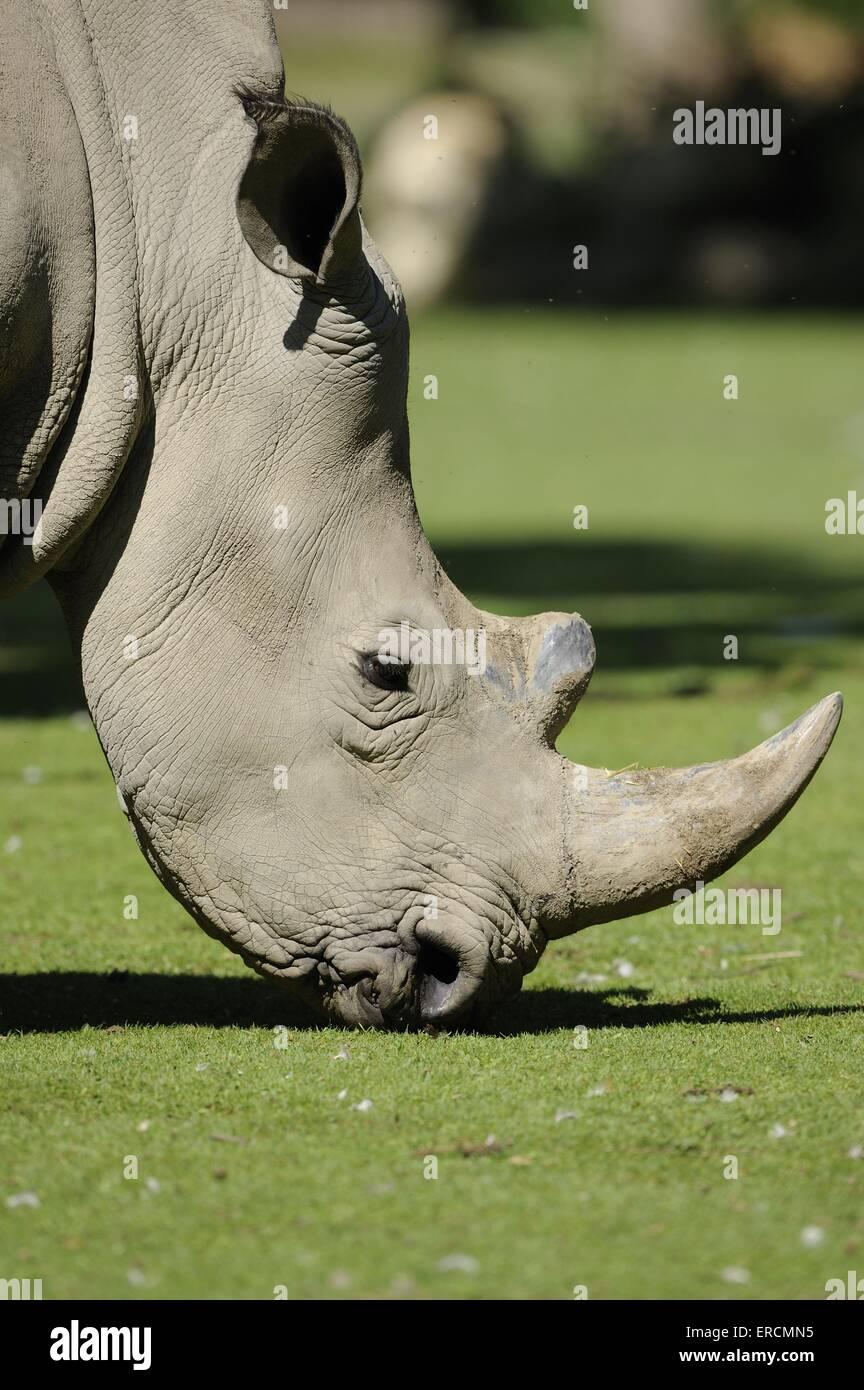 square-lipped rhino - Stock Image