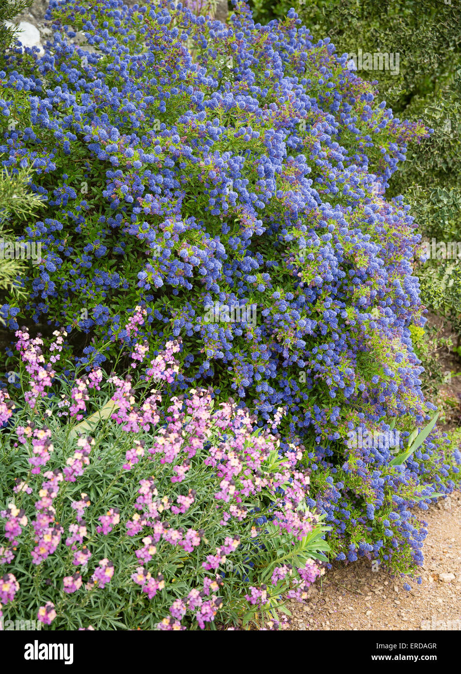 Blue Ceanothus or Californian lilac and pink Erysimum flowers in an English garden flower border - Stock Image