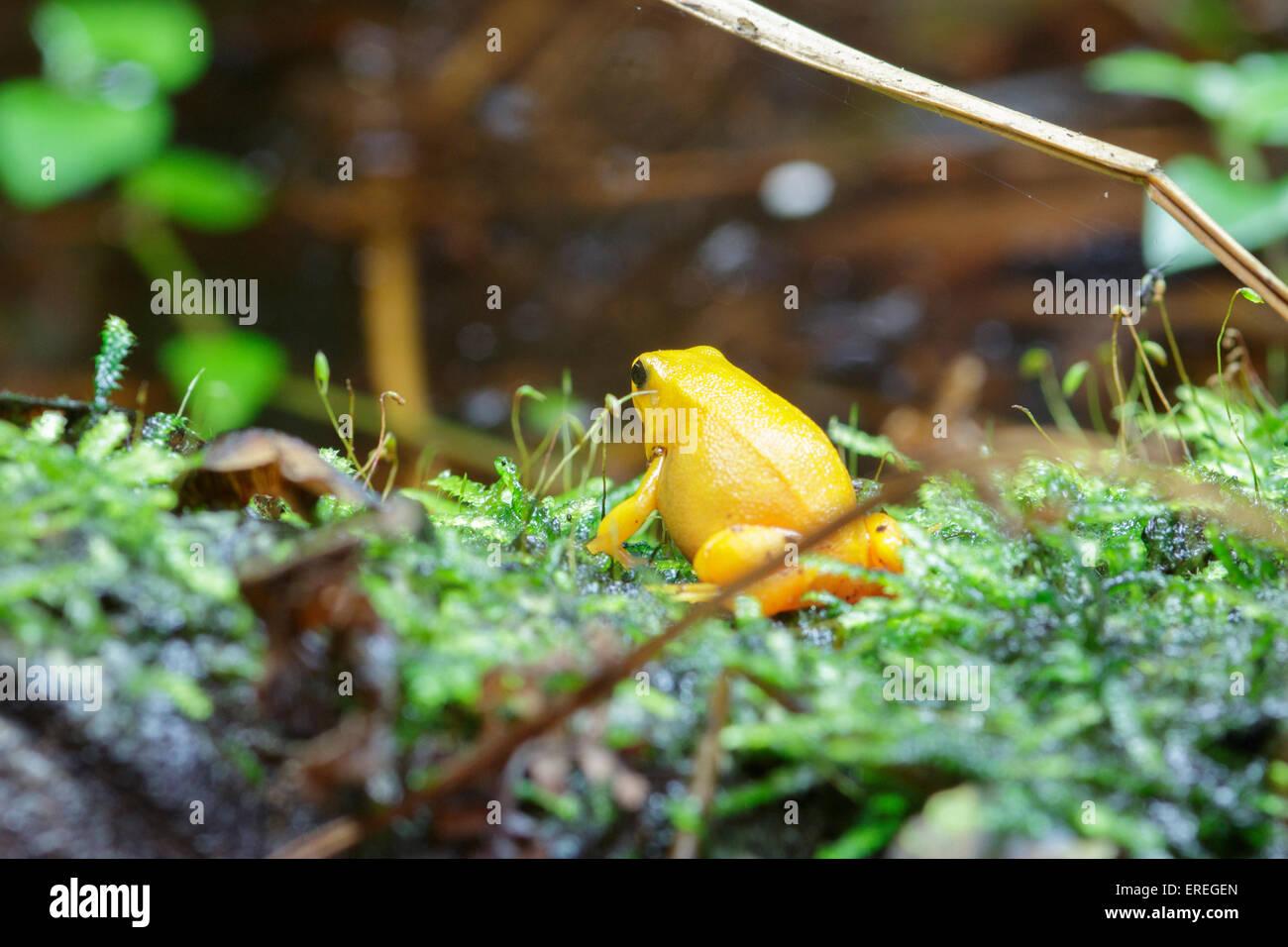 Colorful Golden Dart Frog Poison Dart Frog In Terrarium Stock Photo