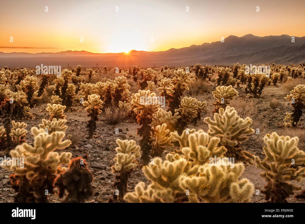 Cholla Cactus Garden Joshua Tree Garden Ftempo