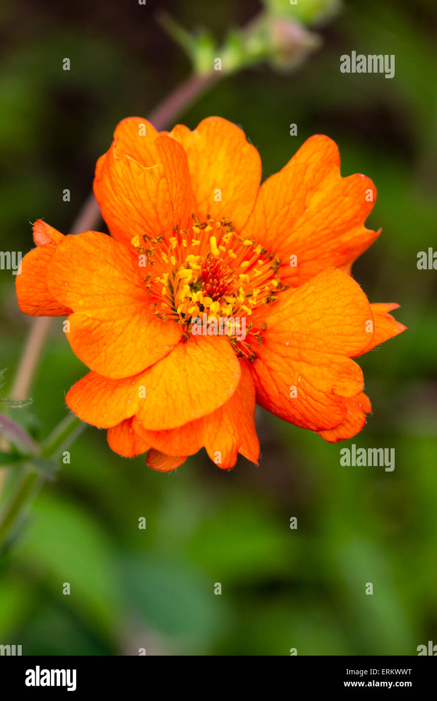 Close up of single flower of the summer  long blooming Geum 'Totally Tangerine' Stock Photo