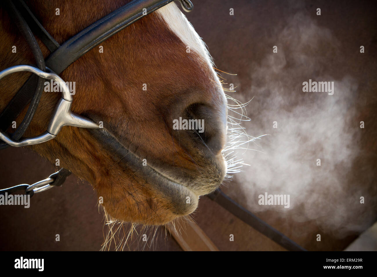 A horse with bridle and bit, breathing heavily after exercise, steam rising in cold air. - Stock Image