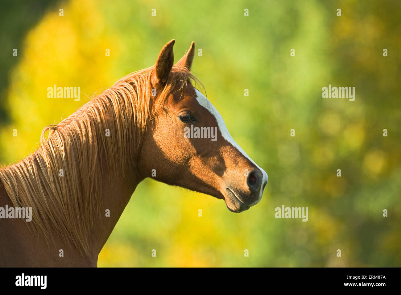 Chestnut Arabian Horse portrait closeup - Stock Image