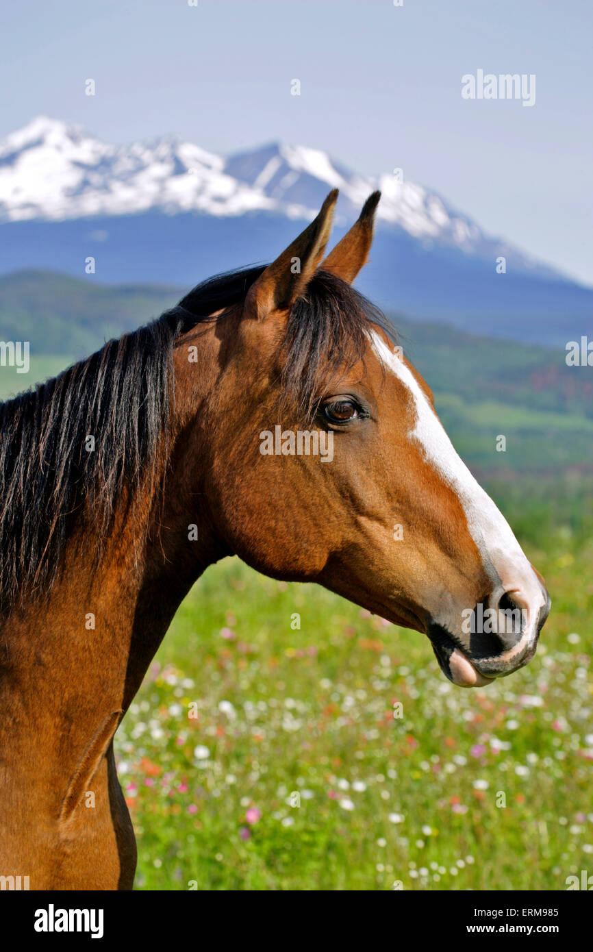 Bay Arabian Gelding, standing in summer meadow, portrait - Stock Image