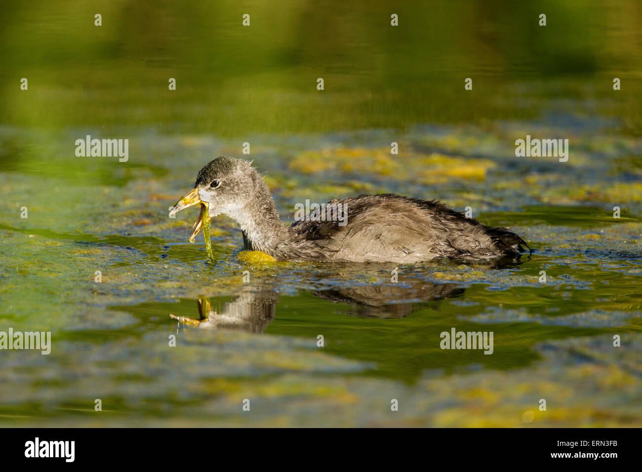 American Coot  Fulica americana Tucson, Pinal County, Arizona, United States 3 June       Immature       Rallidae - Stock Image