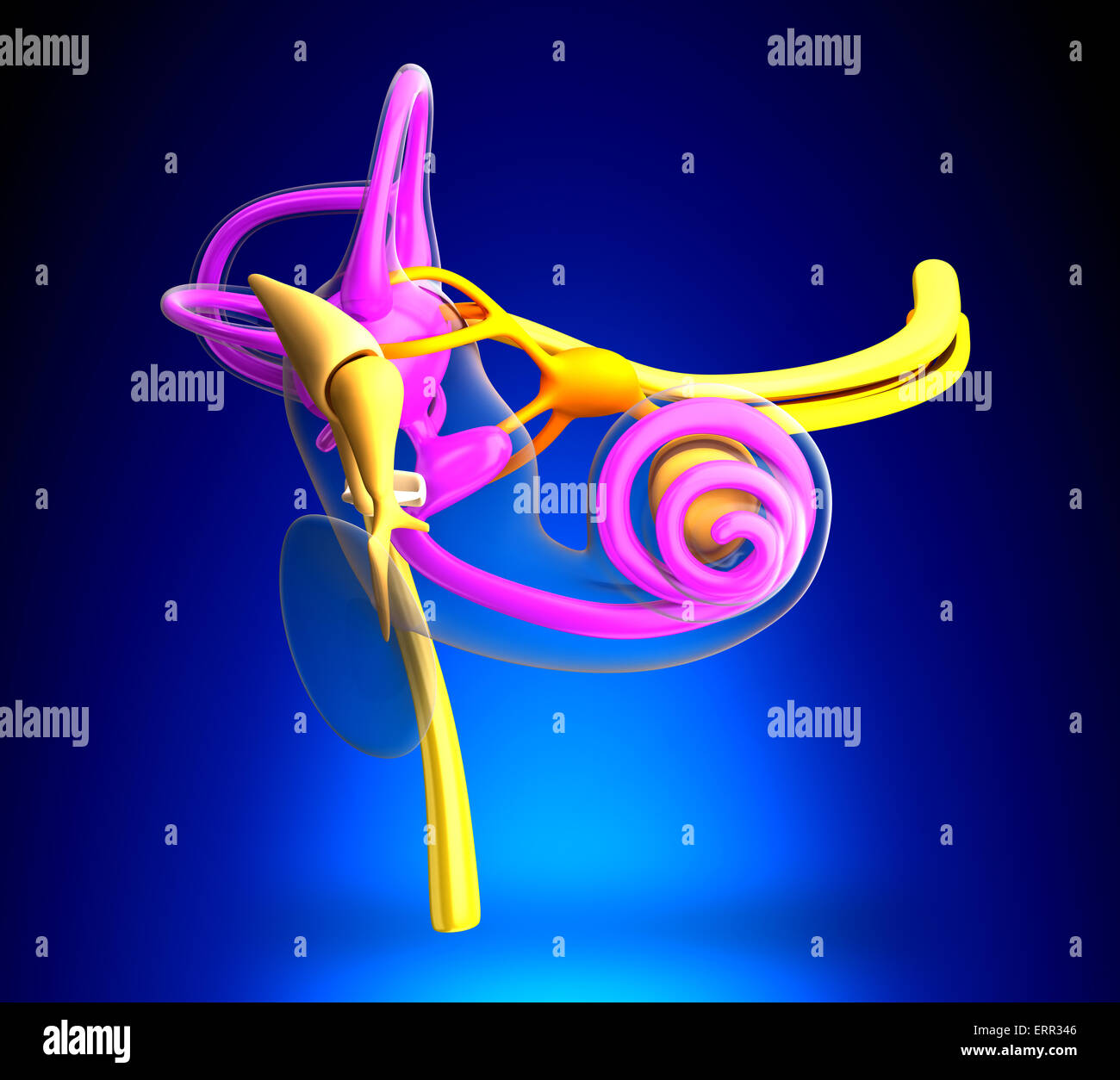 Inner Ear Anatomy on blue background Stock Photo: 83485926 - Alamy