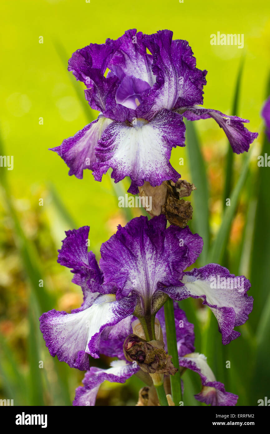 Purple and white tall bearded iris (unknown cultivar) in a Plymouth garden Stock Photo