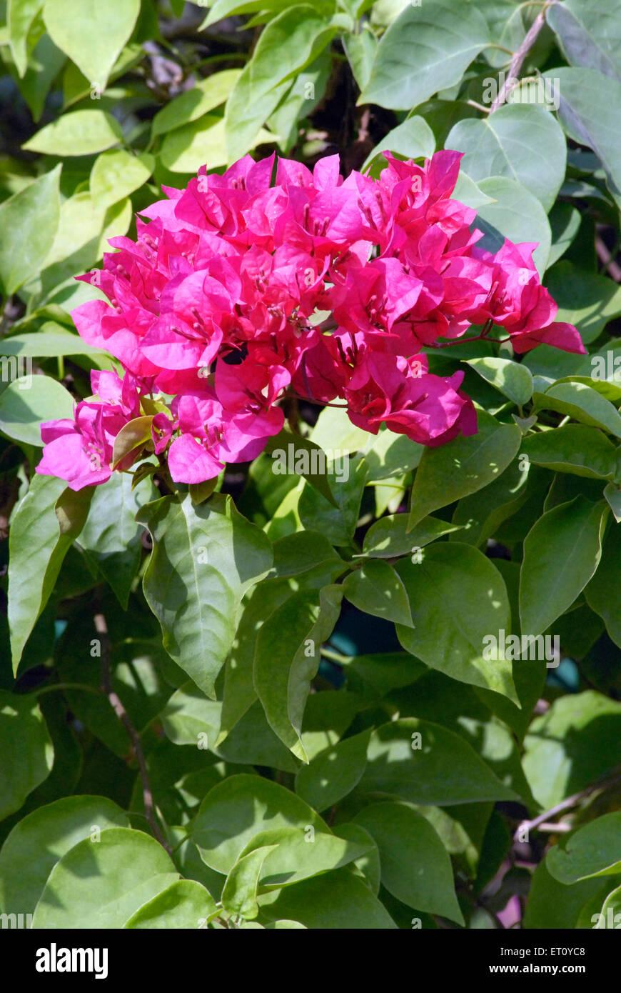 India Bougainvillea Flowers Stock Photos & India Bougainvillea ...