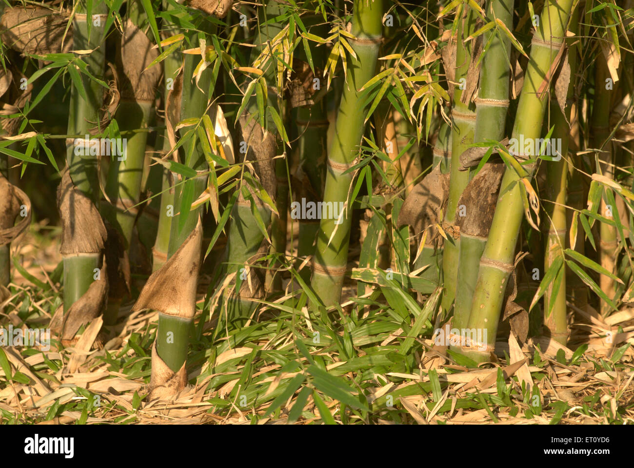 Dense and thick Bamboo plantation ; Okayama friendship garden P. L ...