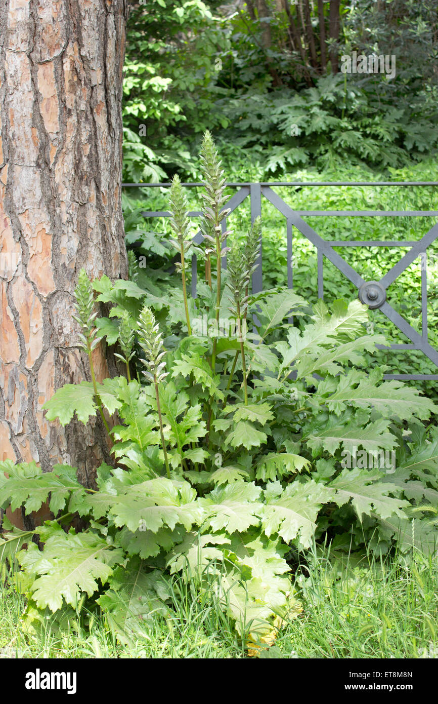 acanthus plant  under a tree - Stock Image