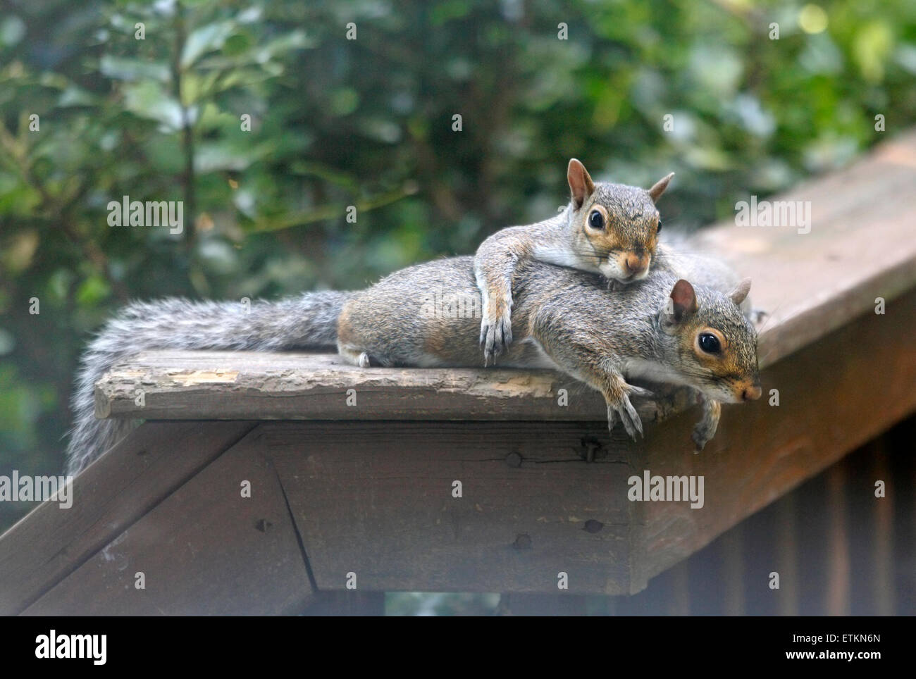 Eastern grey gray squirrels (Sciurus carolinensis) laying together on deck rail. Stock Photo