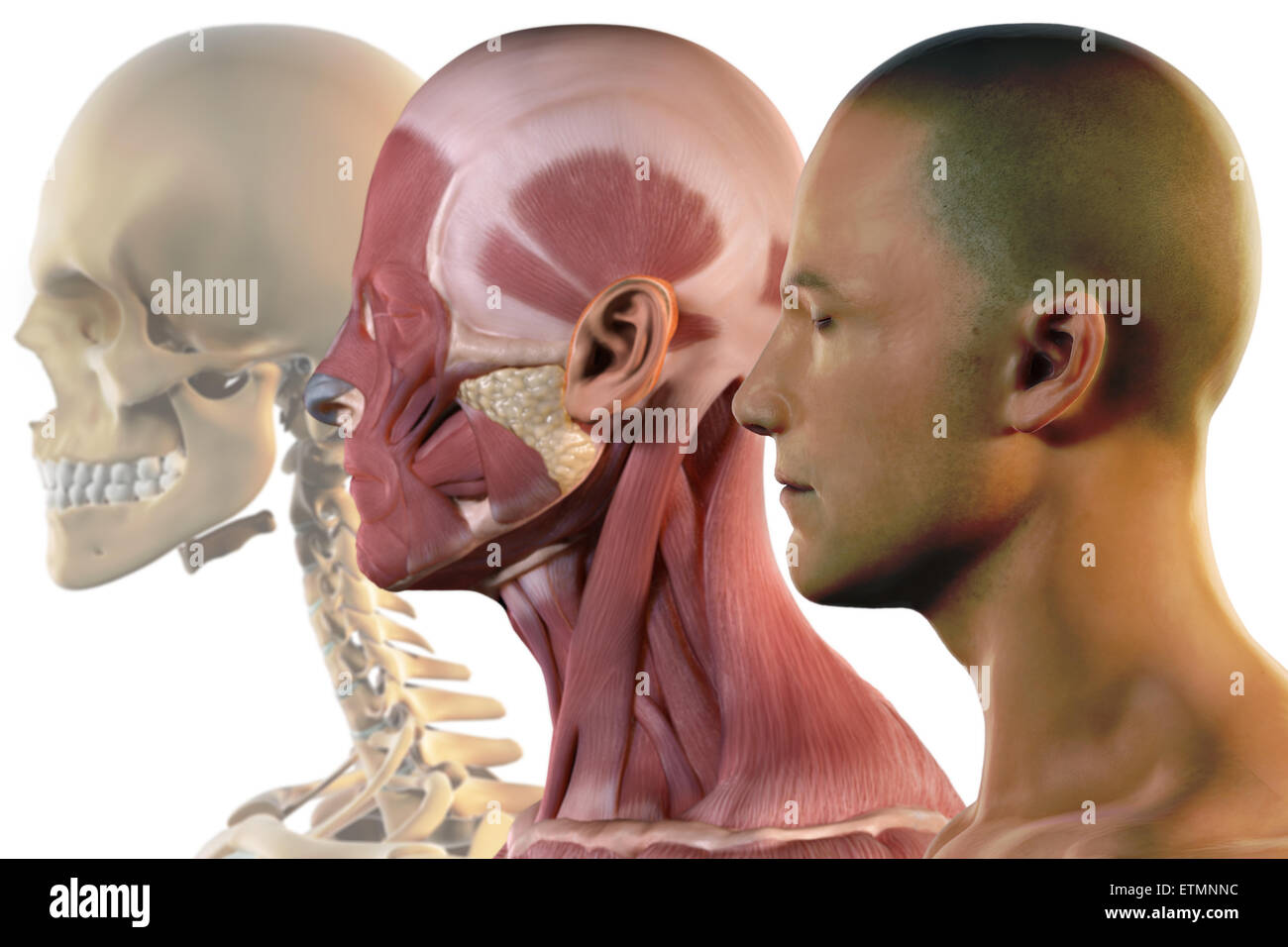 Illustration showing the surface anatomy, musculature and skeletal ...