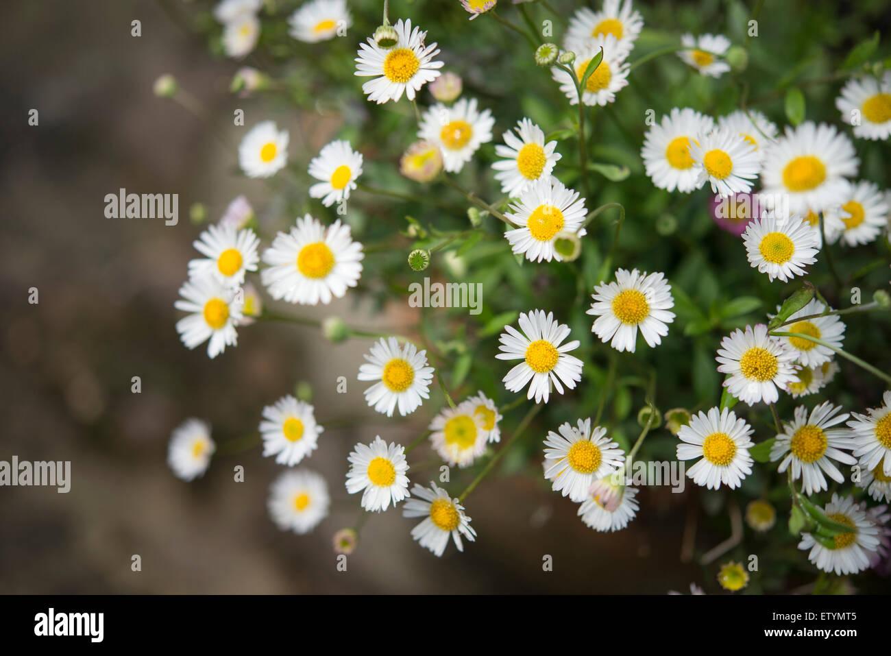 Erigeron Karvinskianus With Tiny Daisy Like Flowers Flowering In