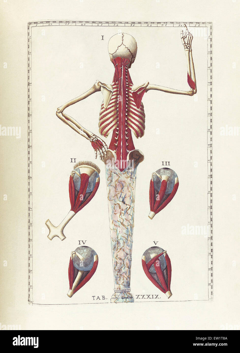 The science of human anatomy by Bartholomeo Eustachi, depicting the ...