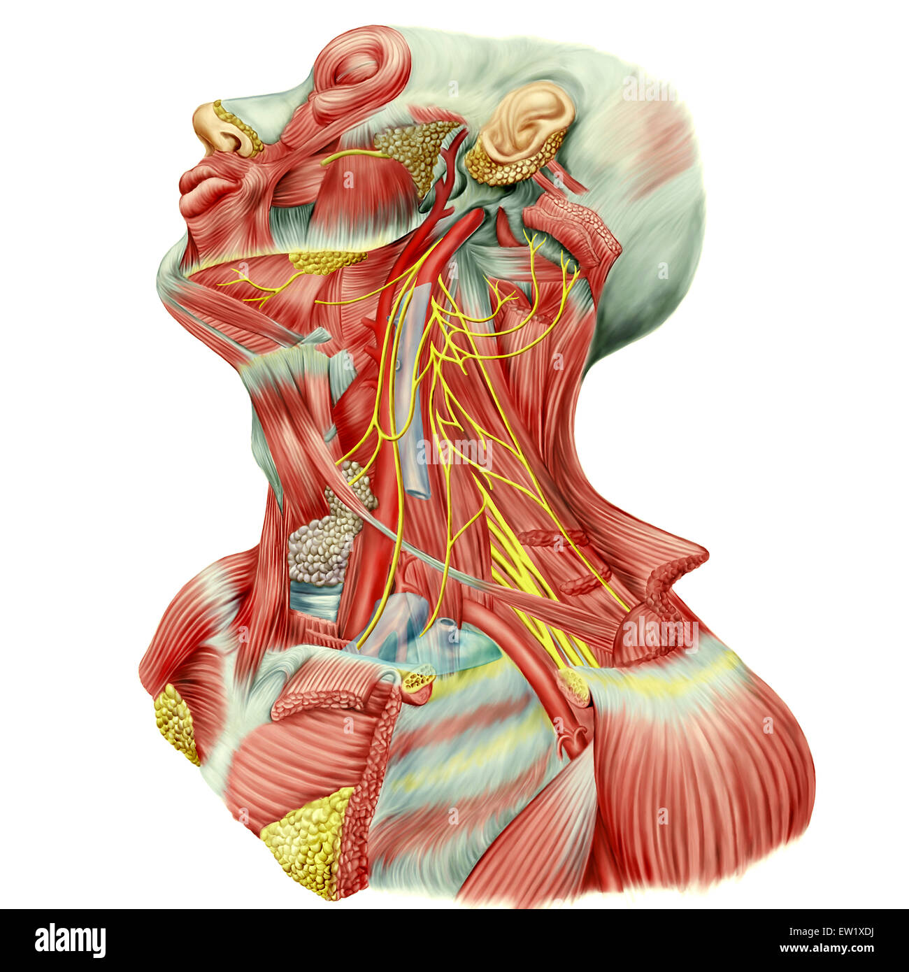 Detailed dissection view of human neck showing ansa cervicalis Stock ...