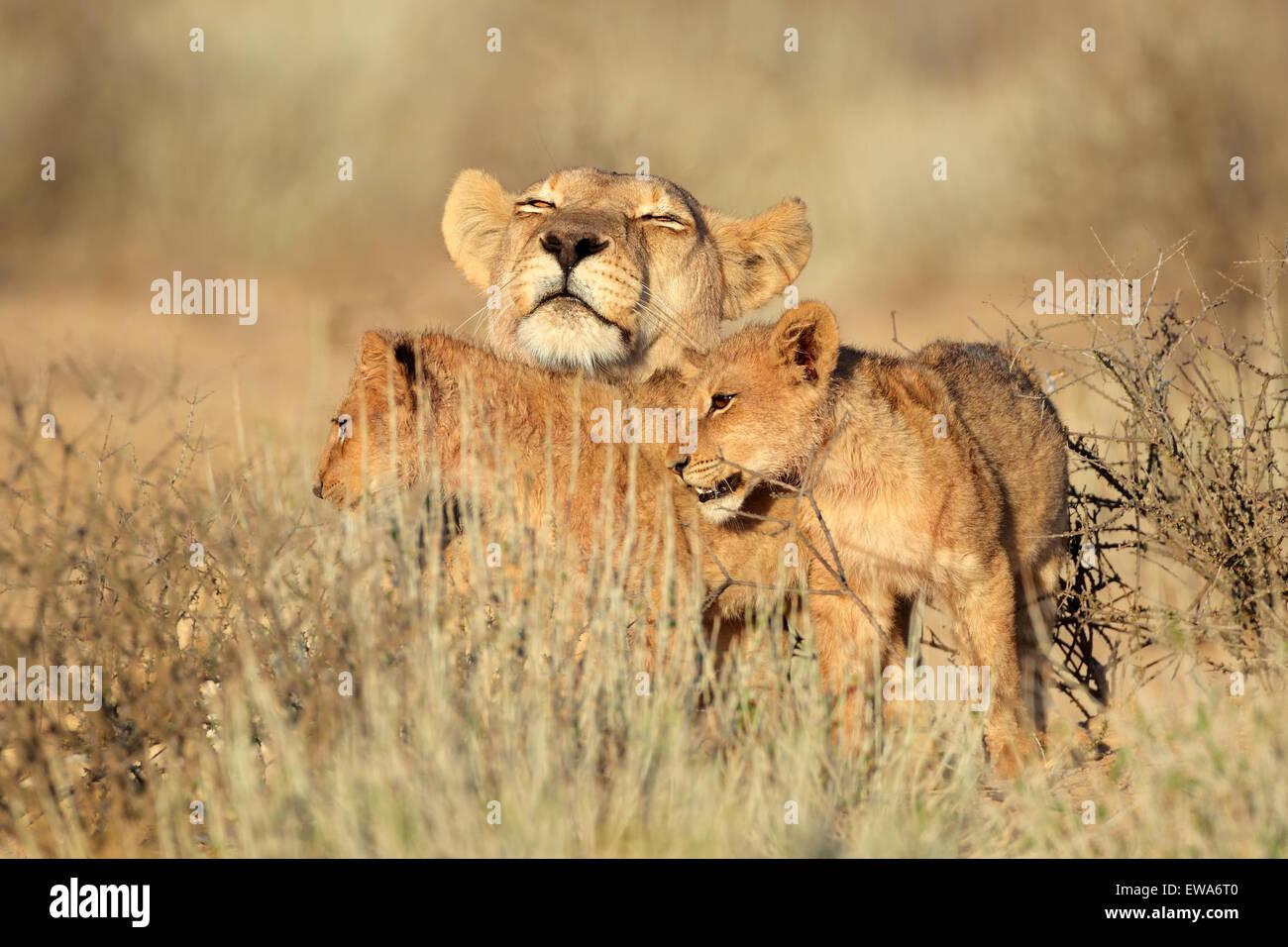 Lioness with young lion cubs (Panthera leo), Kalahari desert, South Africa - Stock Image