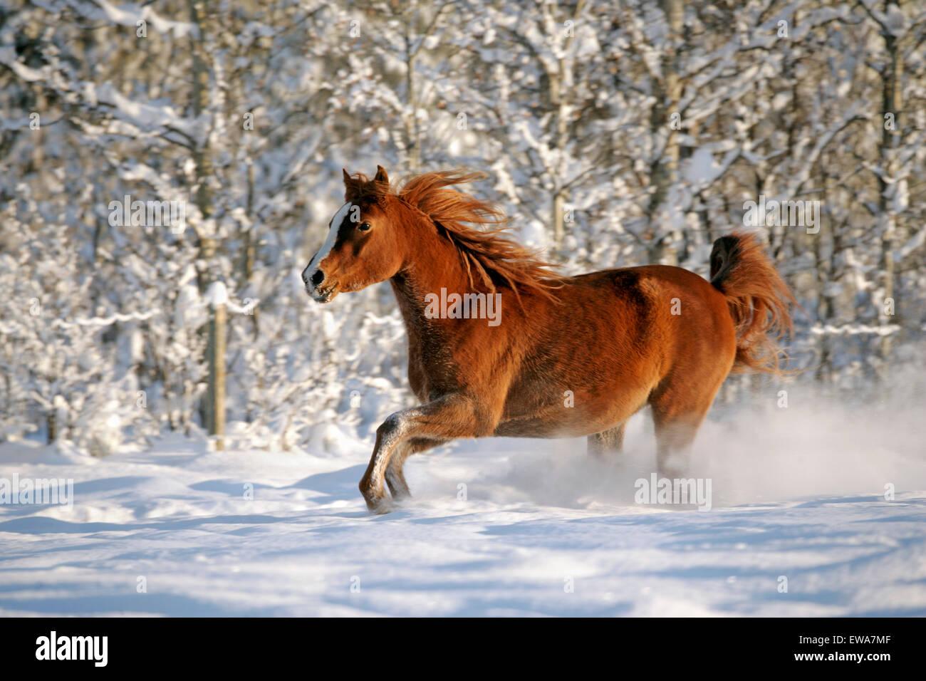 Purebred Chestnut Arabian Mare running through fresh snow - Stock Image