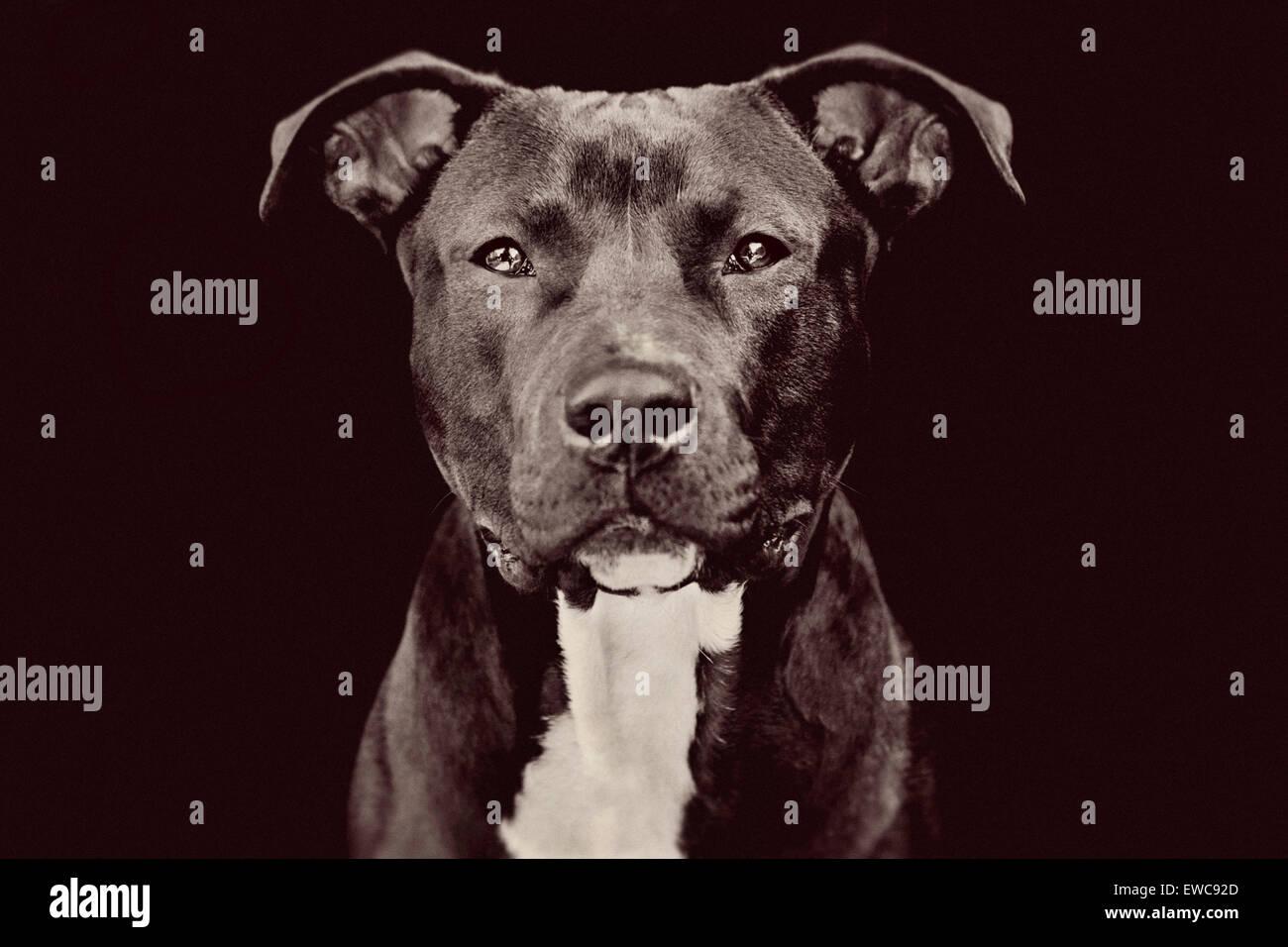 Studio portrait of a medium large adult black Pitbull dog on black background facing camera with riveting eye contact - Stock Image