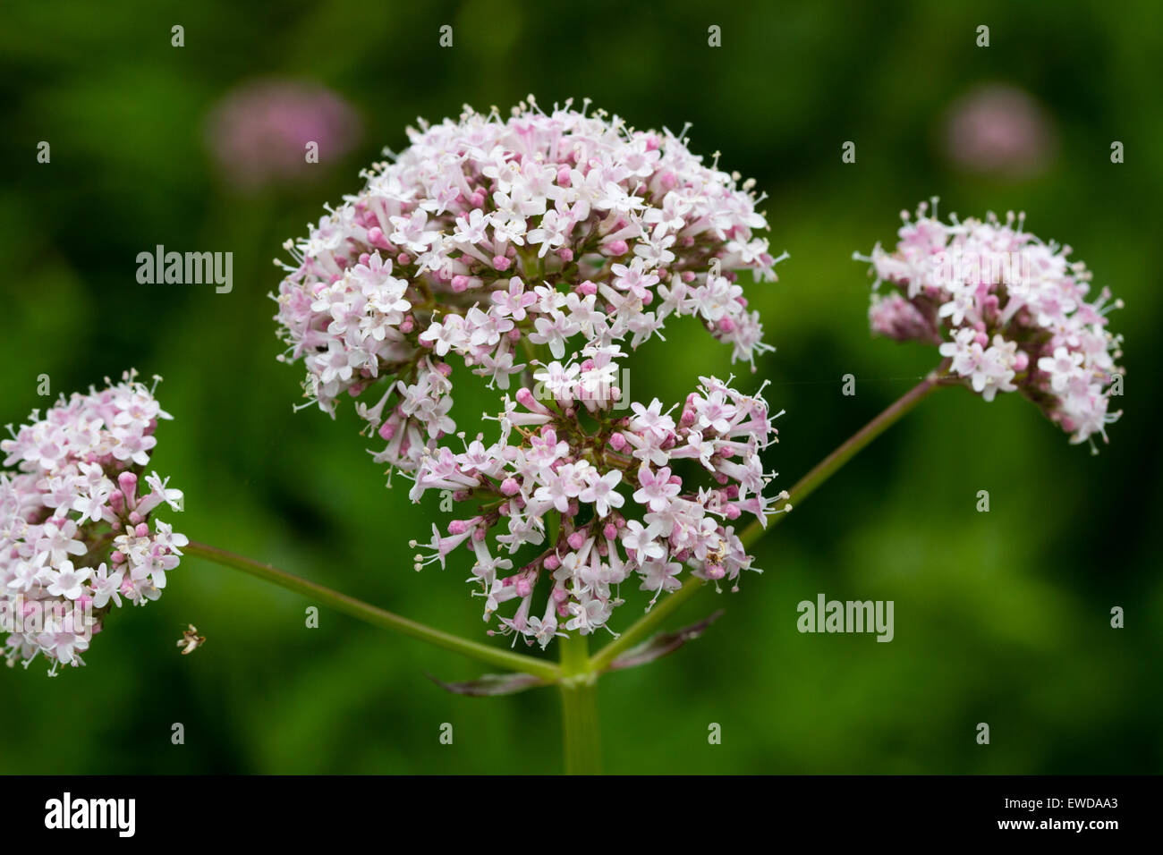 Scented flower heads of the medicinal herb Valerian, Valeriana officinalis - Stock Image