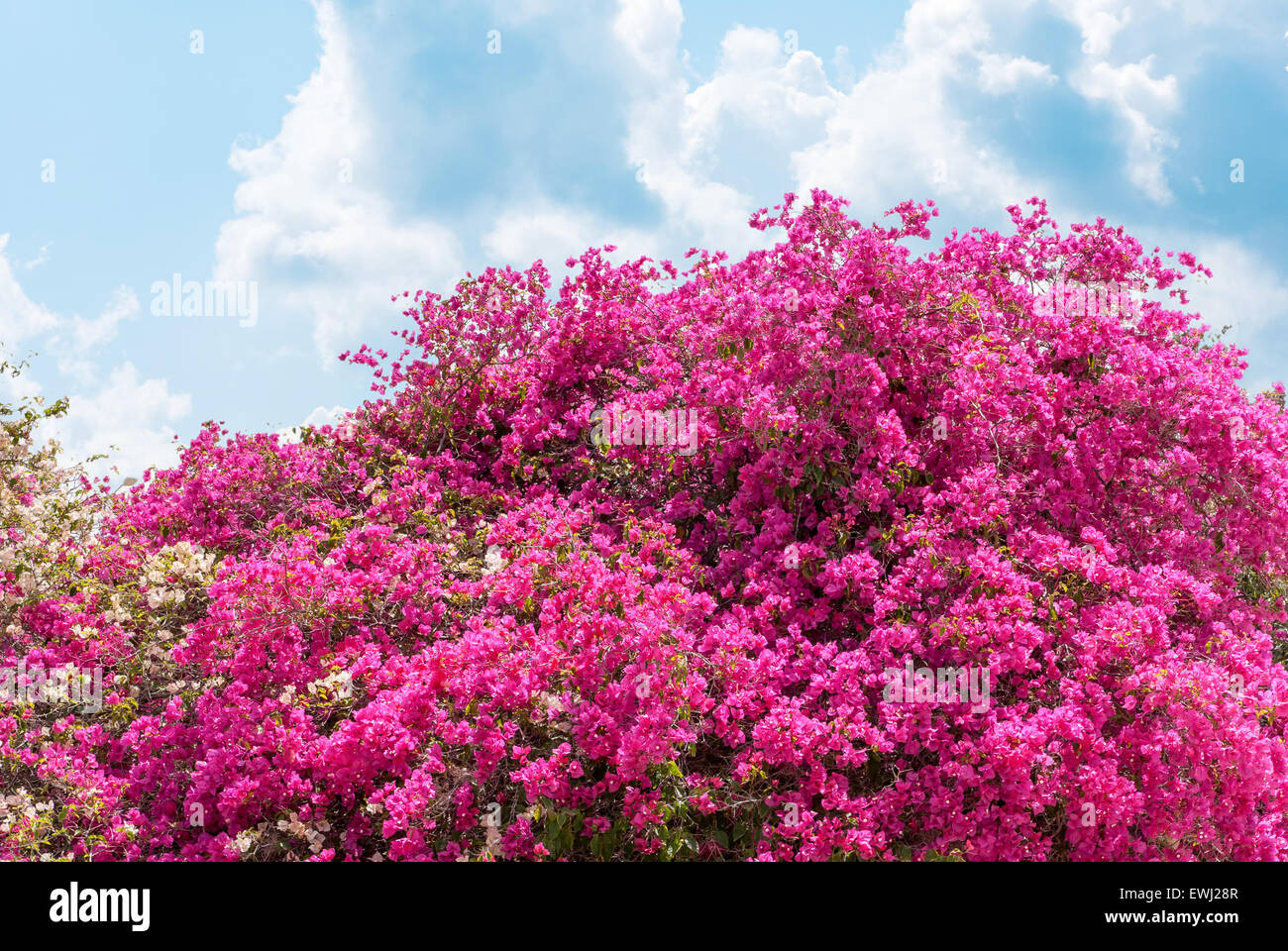 Big Bush Blooming Pink Flowers Azaleas Stock Photo 84604823 Alamy
