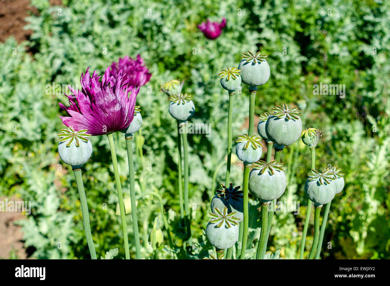 Heroin opium poppy stock photos heroin opium poppy stock images poppy flowers and seed heads opium drugs war on drugs heroin mightylinksfo Image collections