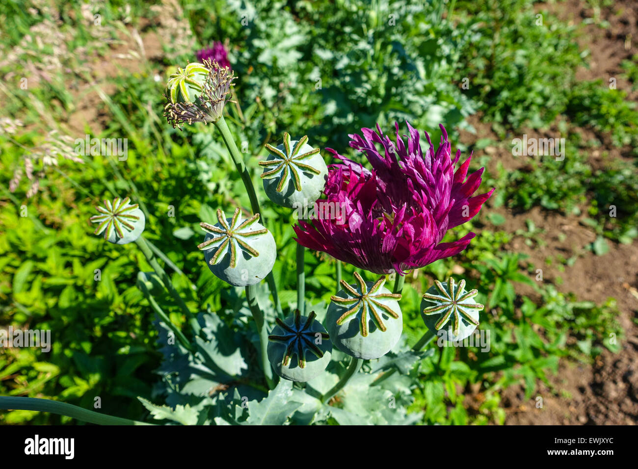 Heroin opium poppy stock photos heroin opium poppy stock images poppy flowers and poppy seed heads opium drugs war on drugs heroin mightylinksfo Image collections