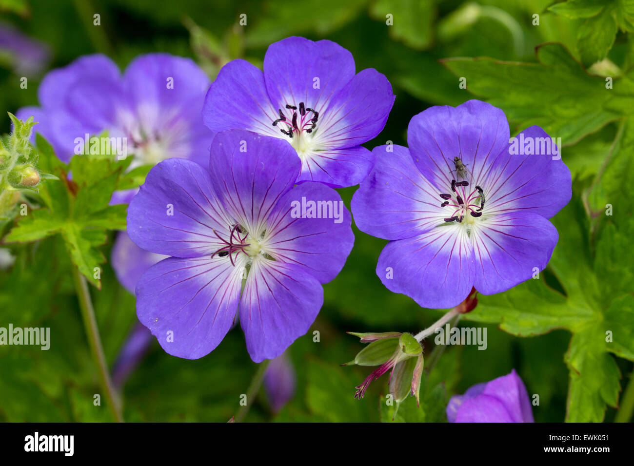 Flowers of the long blooming hardy Geranium 'Rozanne' Stock Photo