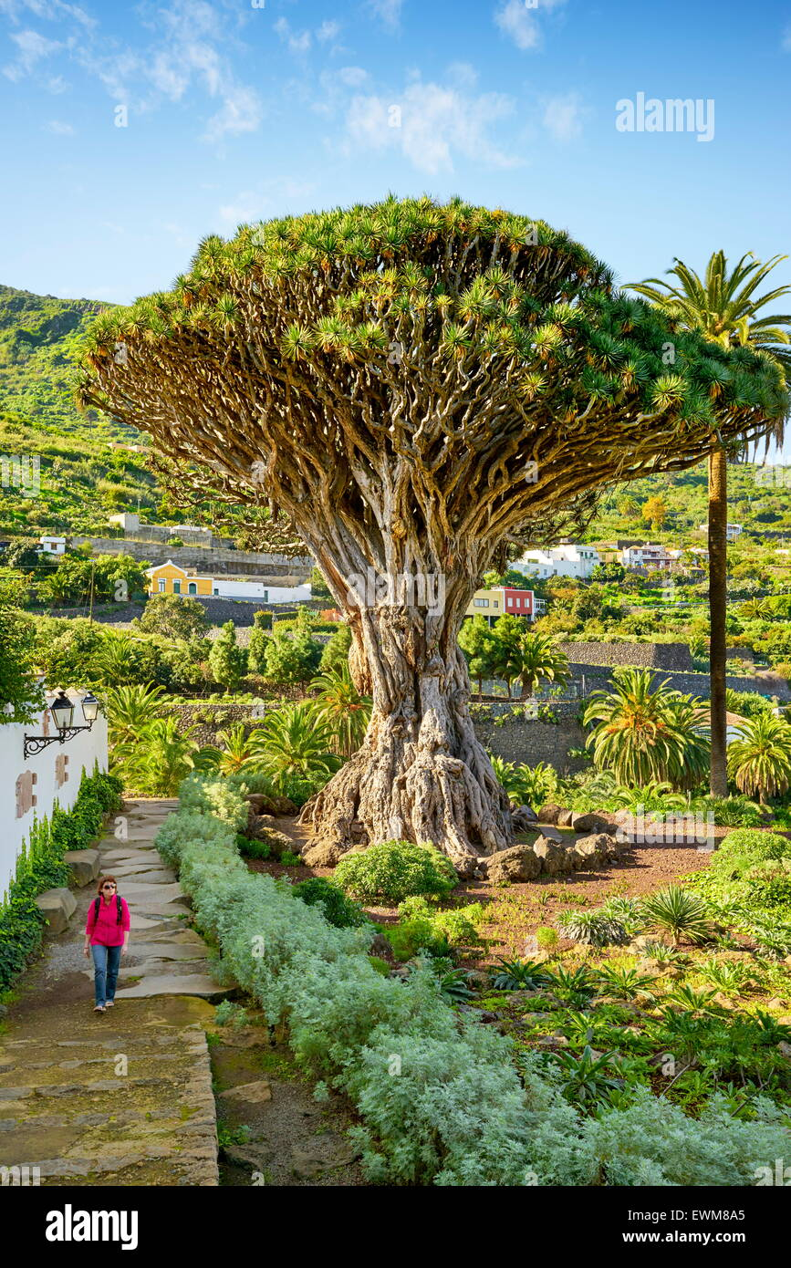 Dragon Tree, Dracaena draco, La Orotava, Tenerife, Canary Islands, Spain - Stock Image