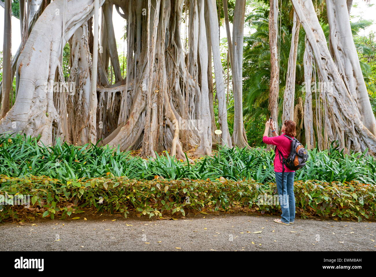 Ficus Tree, Botanic Garden, Puerto de la Cruz, Tenerife, Canary Islands, Spain - Stock Image