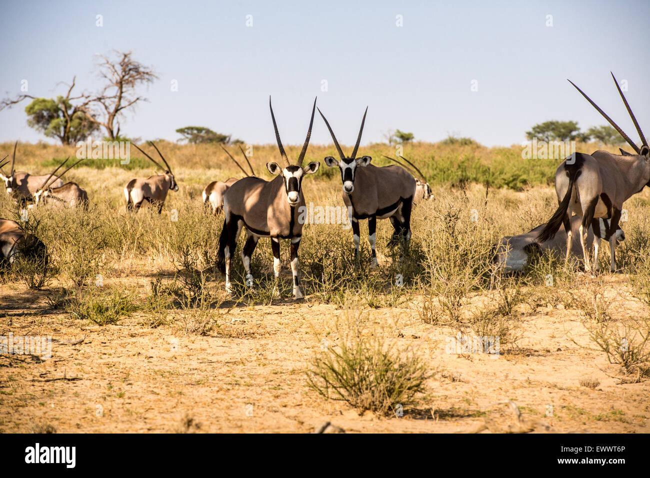South Africa - Gemsbok in Khalagadi Transfrontier Park - Stock Image