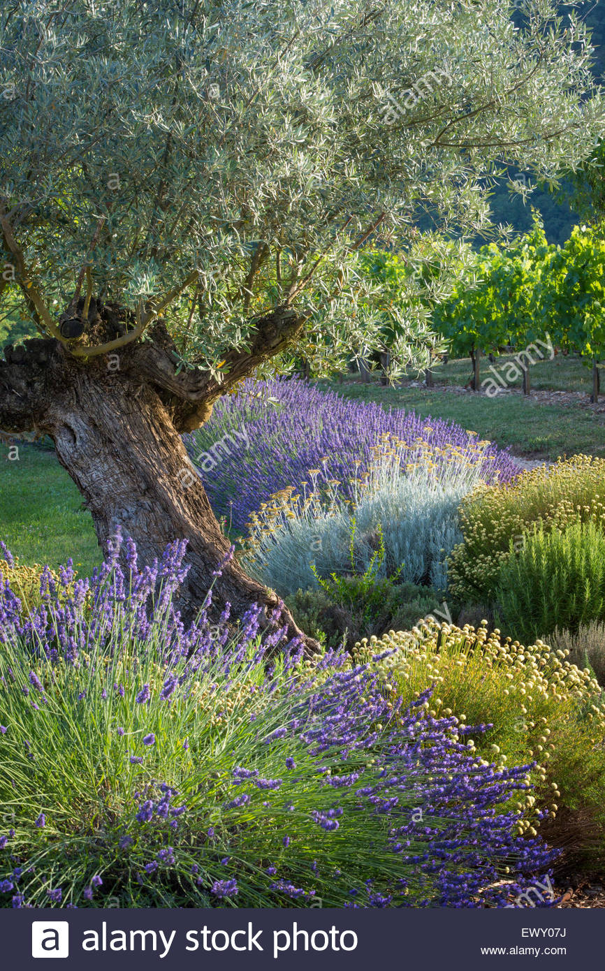Olive tree, Lavender and Grapevines in garden near Saint Cirq Lapopie, Midi-Pyrenees, France - Stock Image