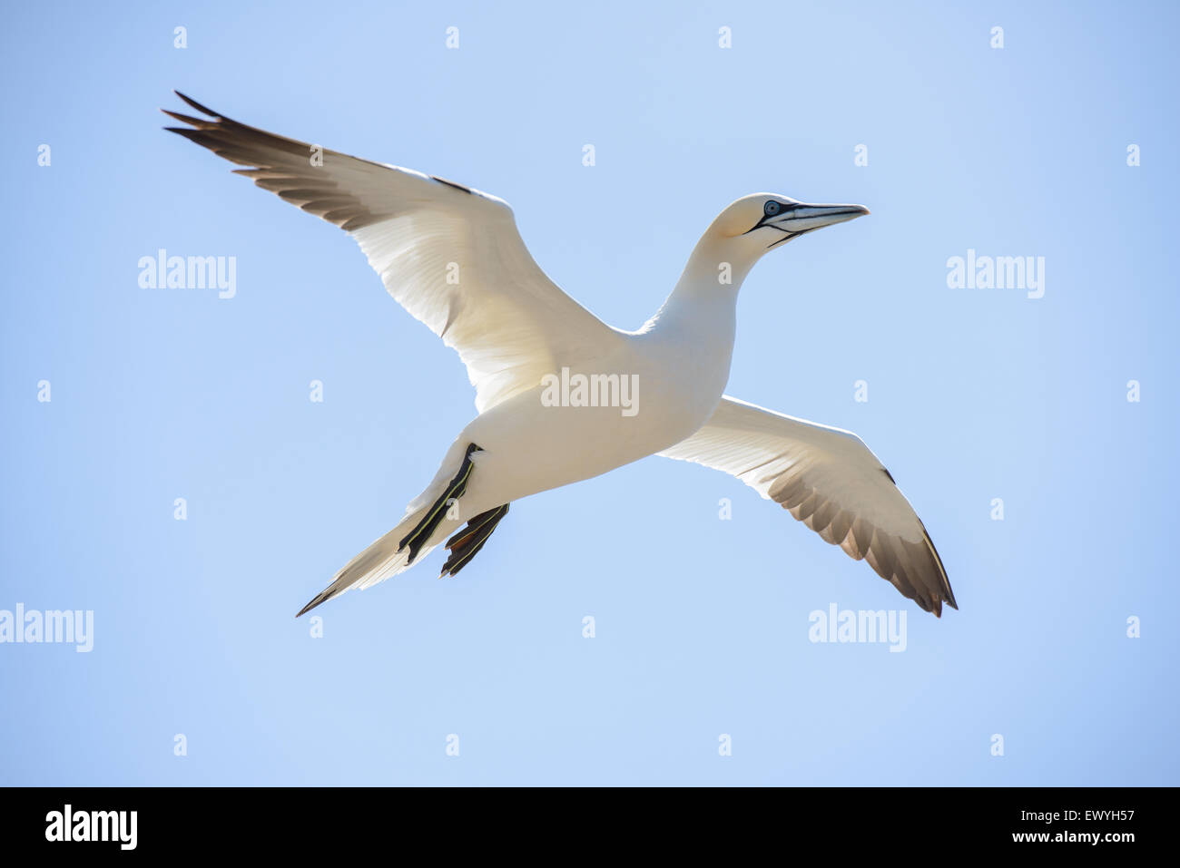 Northern gannet flying in the sky - Stock Image