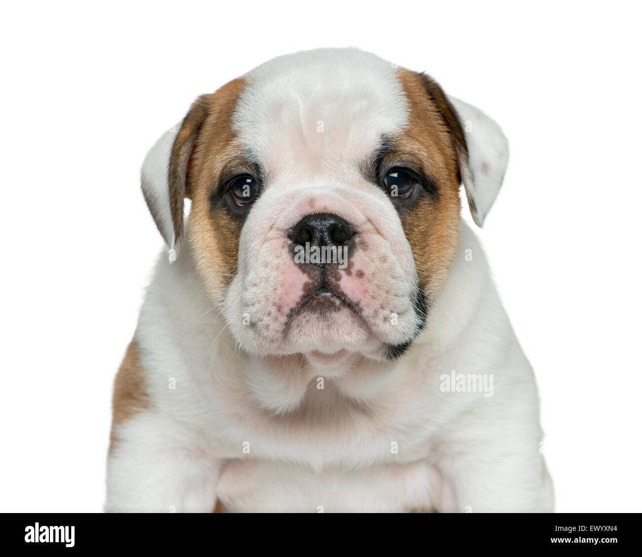 English bulldog puppy in front of white background - Stock Image
