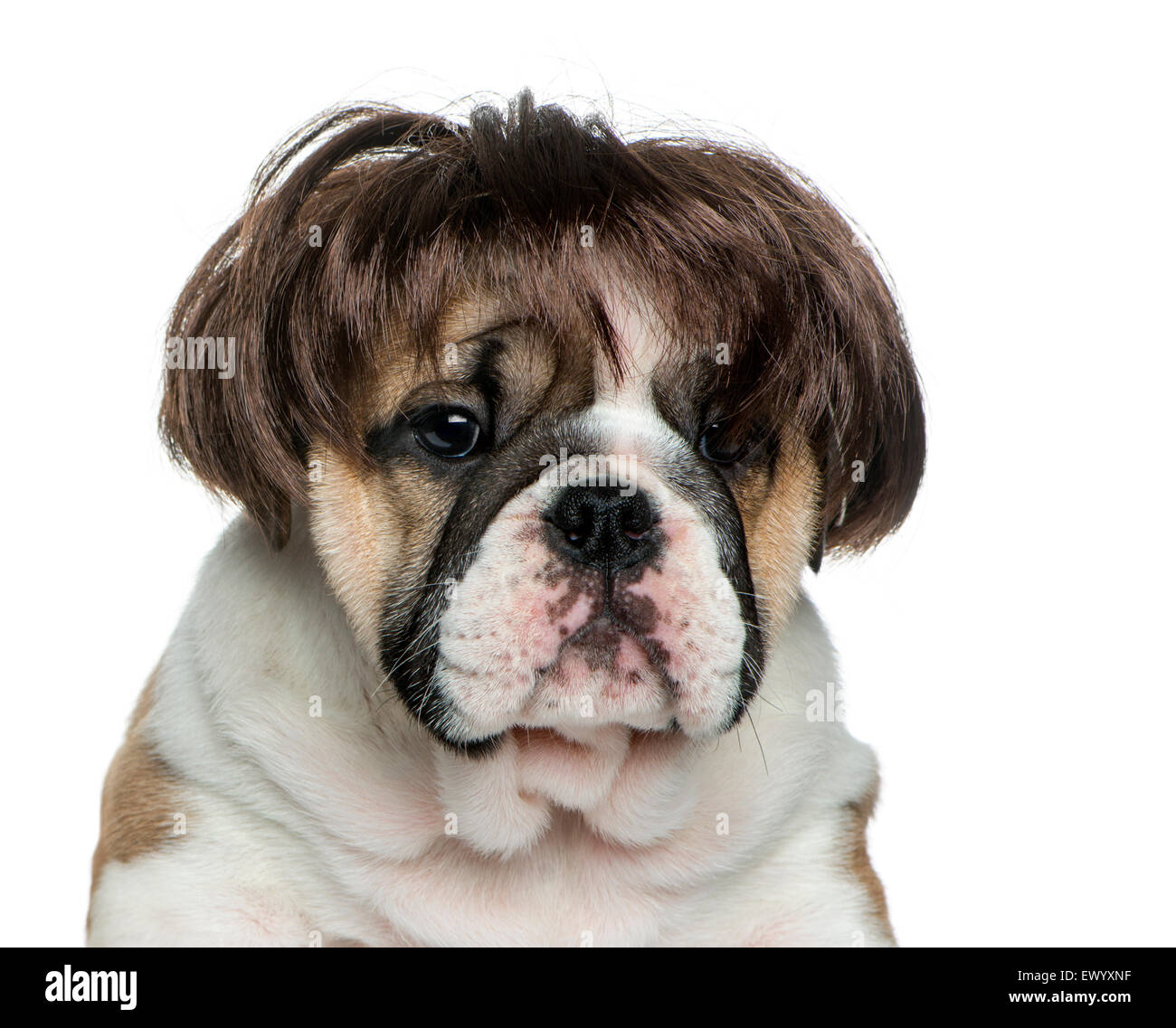 English bulldog puppy wearing a wig in front of white background - Stock Image