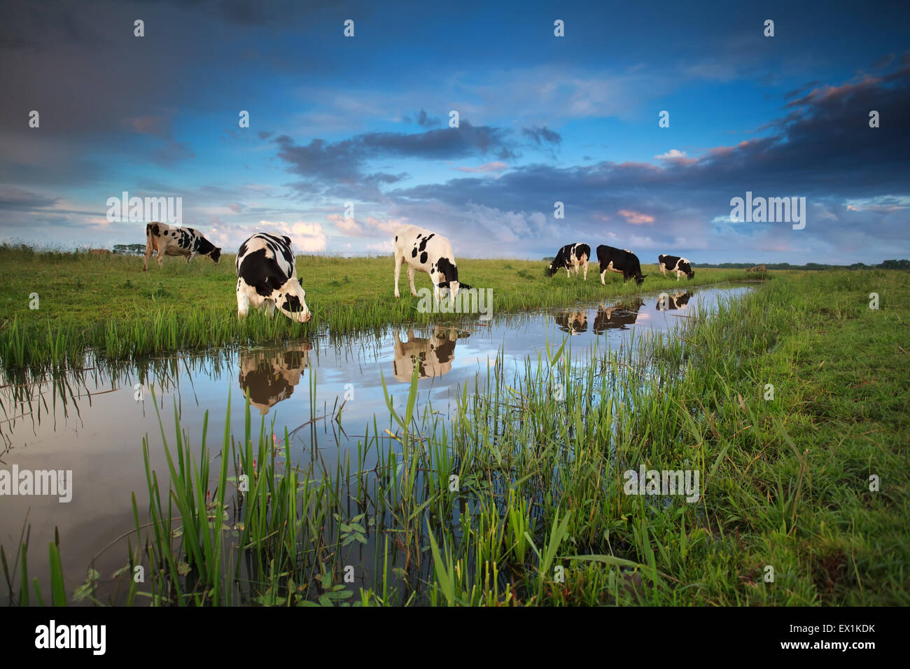 cows grazing on pasture by river in summer - Stock Image