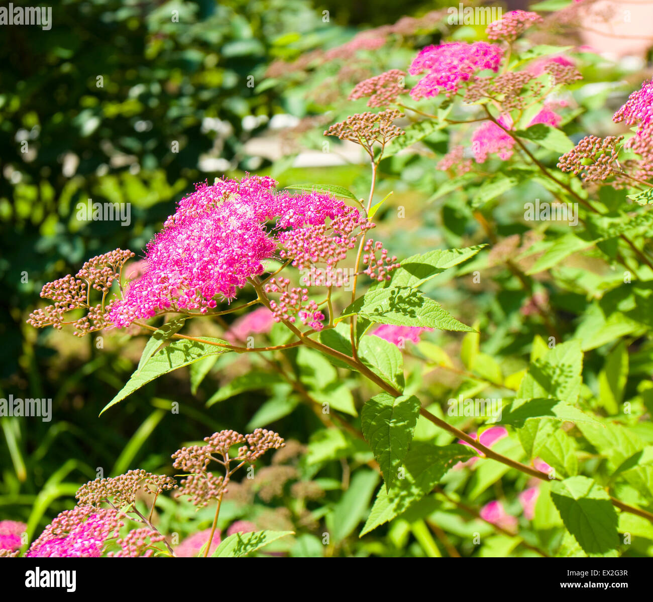 Japanese Spirea Of Pink Colour Stock Photo 84879083 Alamy
