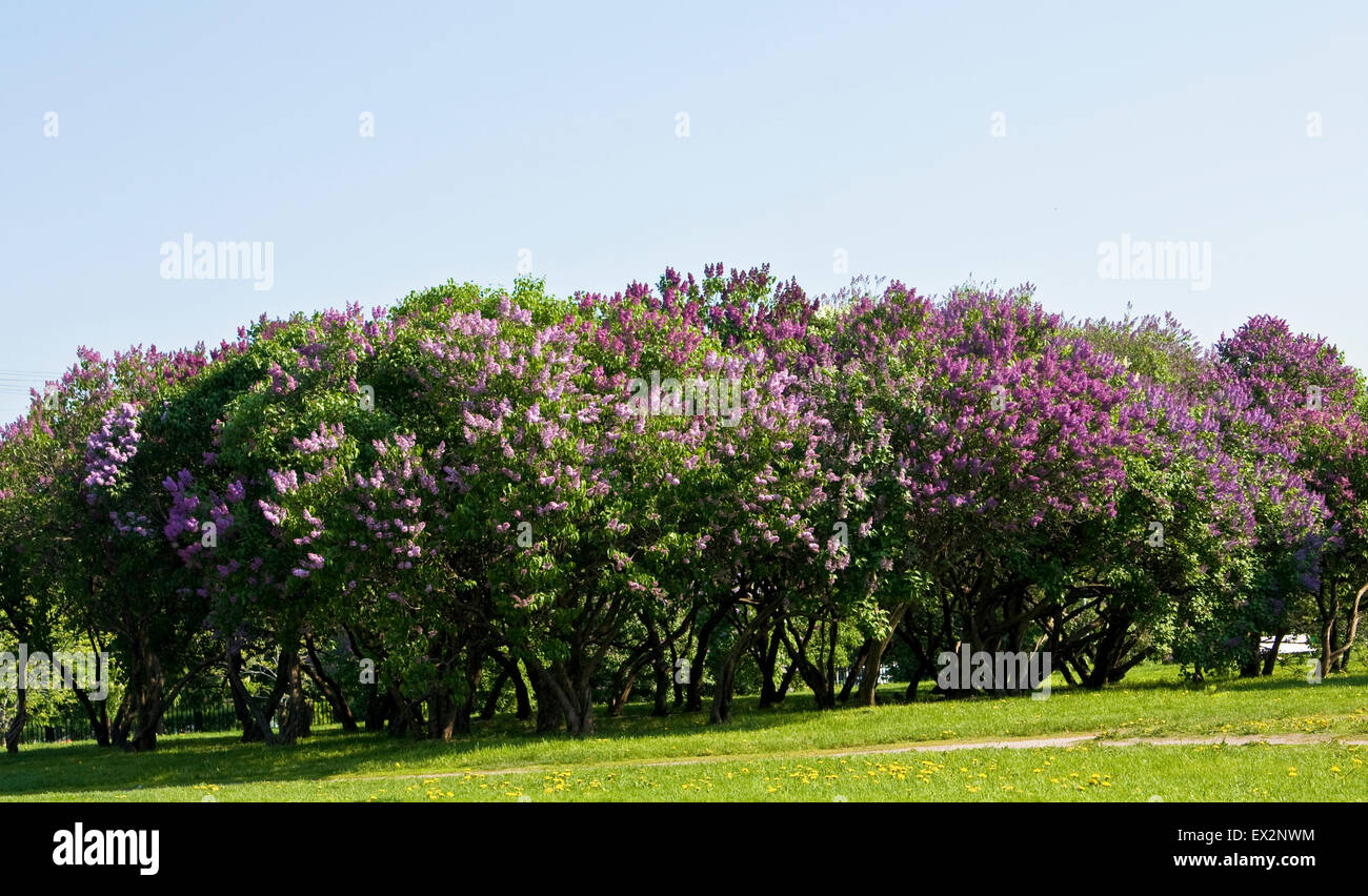 Lilac garden in blossom in spring big trees with purple flowers lilac garden in blossom in spring big trees with purple flowers mightylinksfo Images