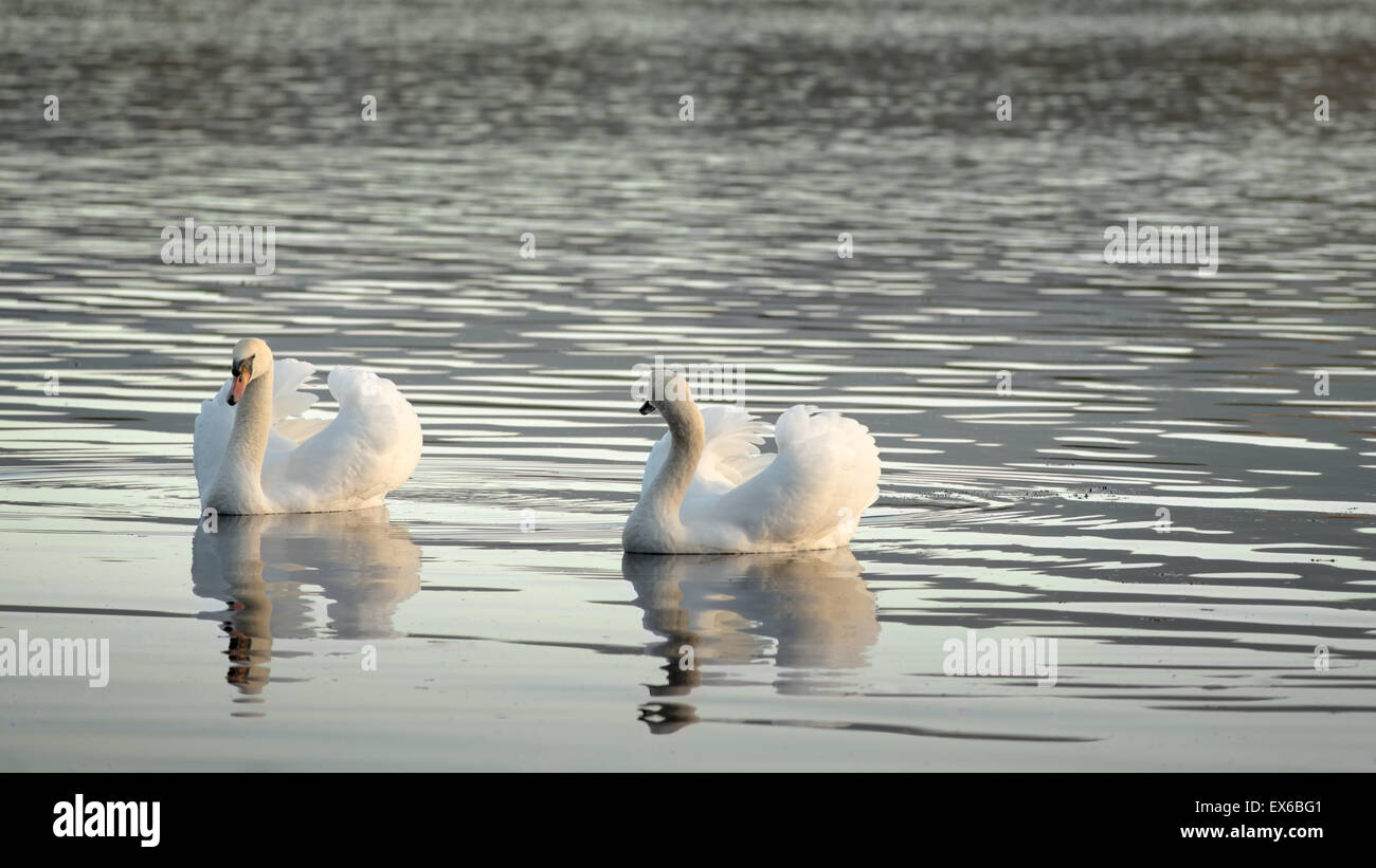 couple-of-mute-swans-or-cygnus-olor-gliding-on-a-lake-in-beautiful-EX6BG1.jpg