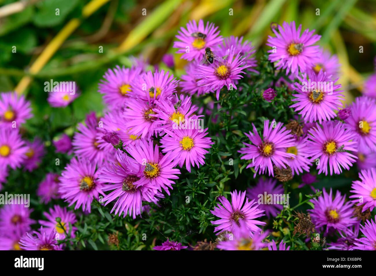 Aster Novi Belgii Dandy Michaelmas Daisy Autumn Flowering Pink