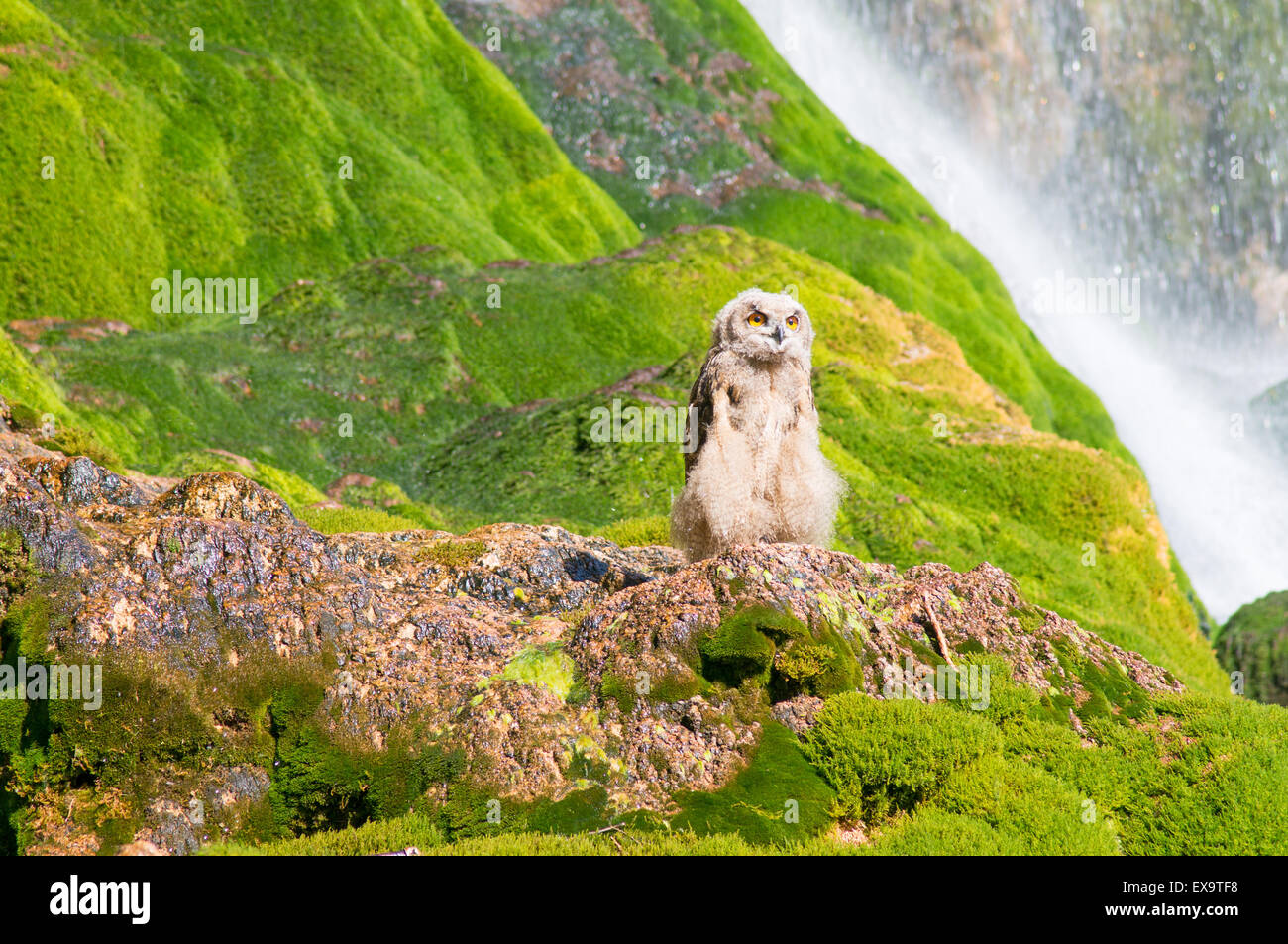 a-young-eurasian-eagle-owl-at-the-waterf