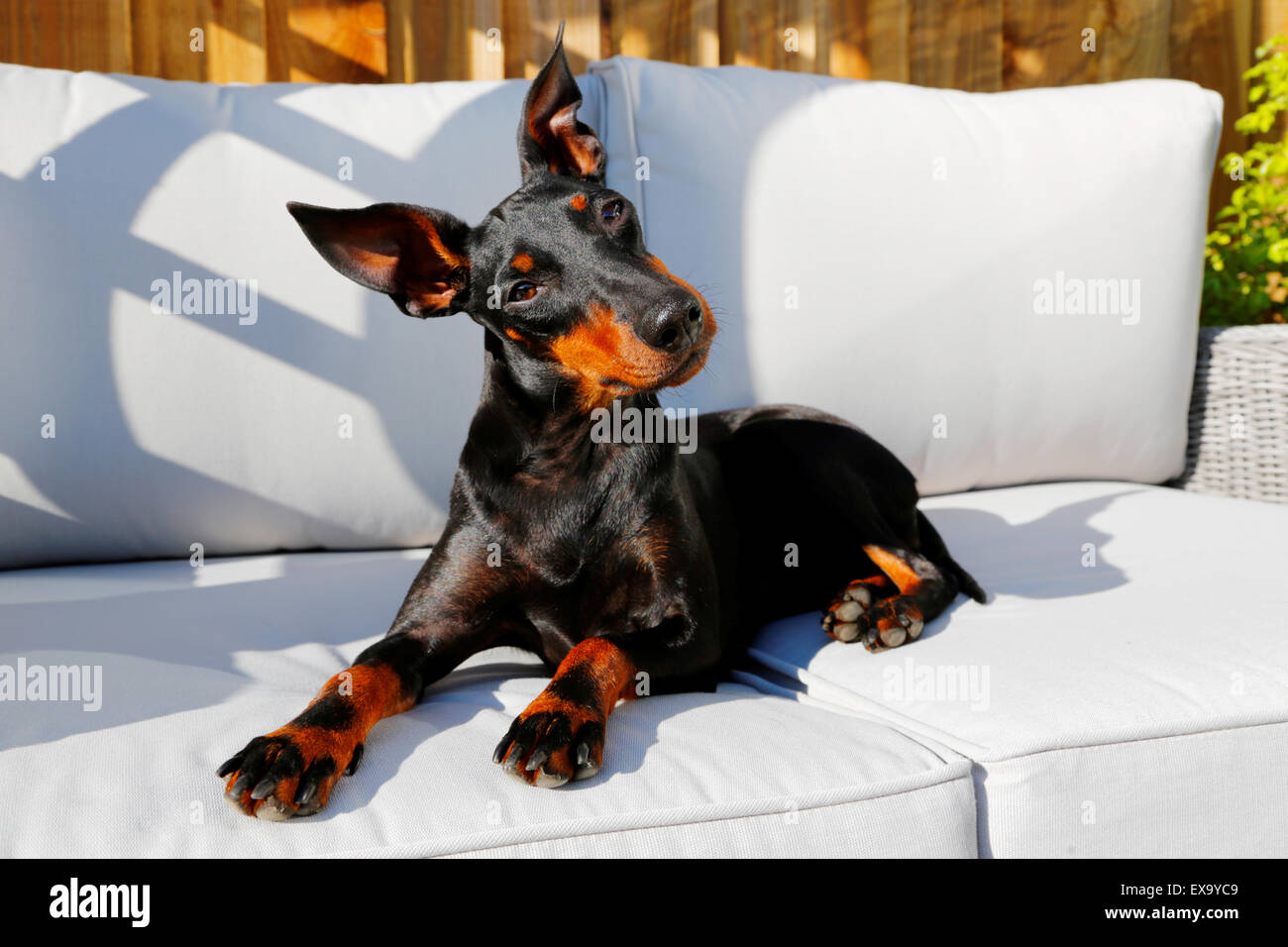 a-cute-dog-a-pedigree-manchester-terrier