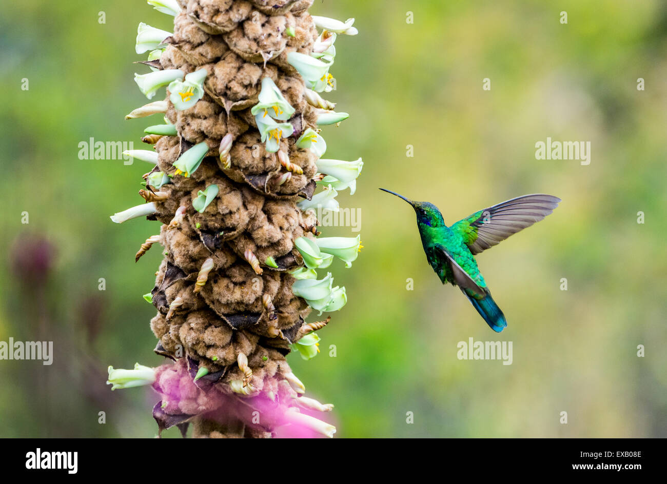 A Sparkling Violet-ear (Colibri coruscans) hummingbird feeding on wild flowers. Pululahua Geobotanic Reserve, Ecuador. Stock Photo