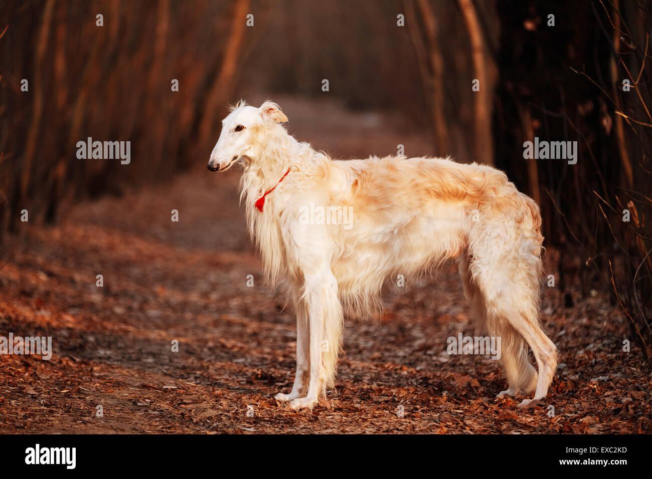 White Russian Wolfhound Dog, Borzoi, Russian Hunting, Sighthound, Russkaya Psovaya Borzaya, Psovoi. Spring Autumn - Stock Image