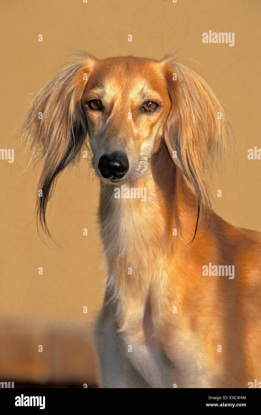 Dog Saluki male,portrait - Stock Image