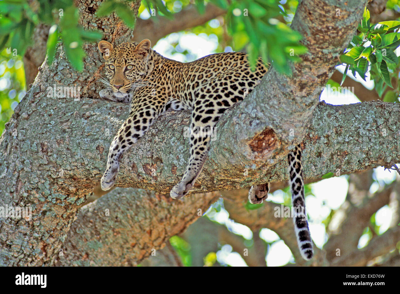 African Leopard resting in tree, watching - Stock Image