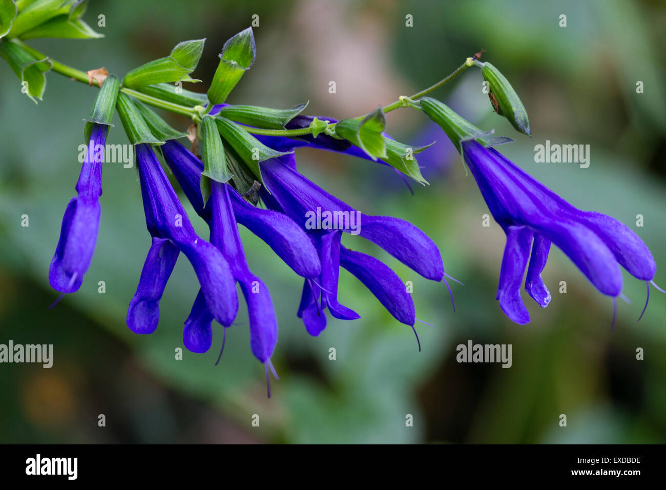 Blue flowers of the summer to autumn blooming perennial sage salvia blue flowers of the summer to autumn blooming perennial sage salvia guaranitica blue enigma izmirmasajfo