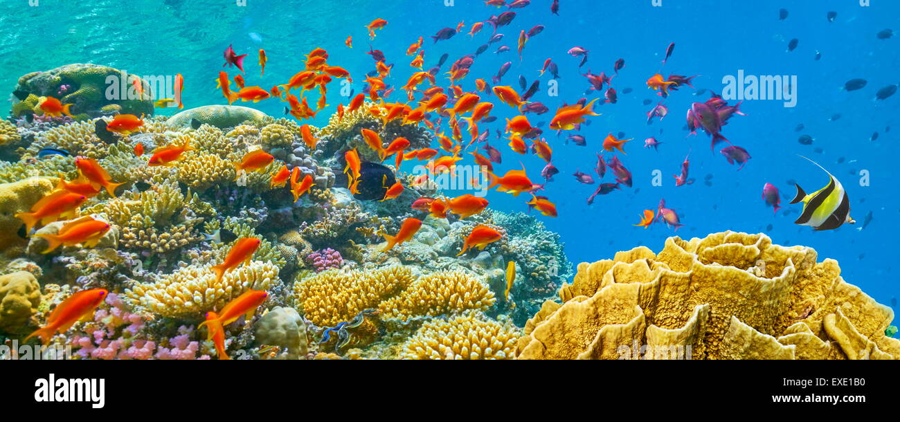 Red Sea, Egypt - underwater view at fishes and coral reef - Stock Image
