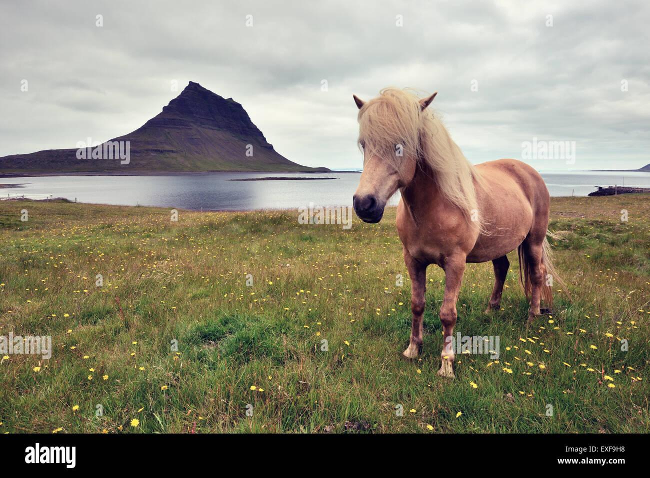 Icelandic horse, Snaefellsnes Peninsula, Iceland - Stock Image