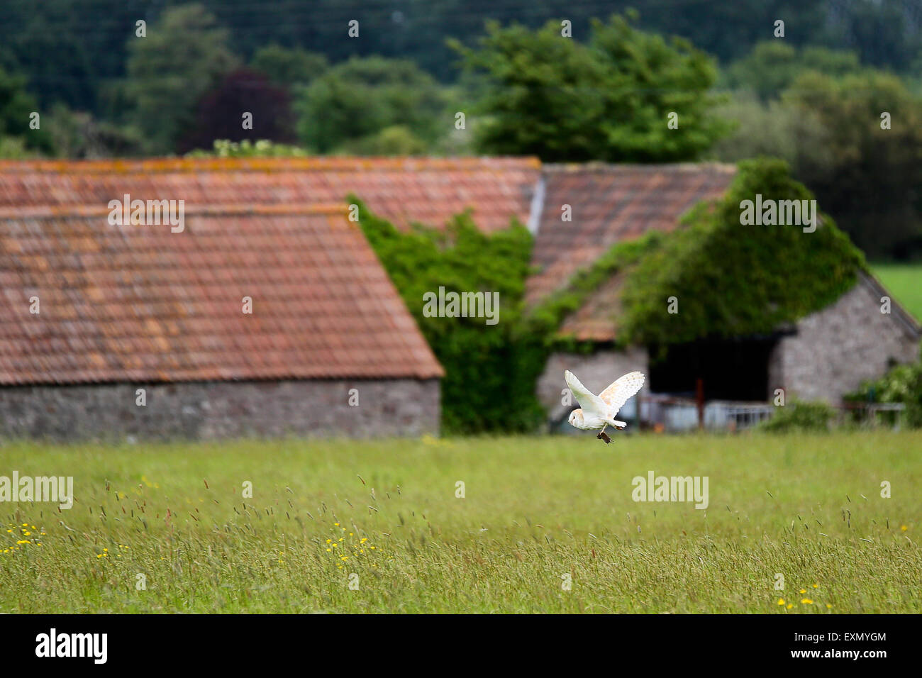 a-barn-owl-flying-over-a-meadow-and-carr